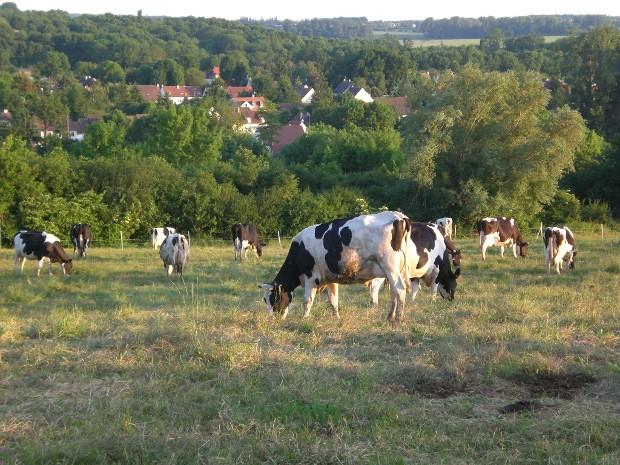 Printemps : Les vaches sont aux prés