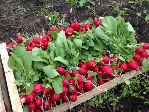 Récolte des radis