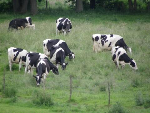 La vie du troupeau de vaches à la ferme de Saint-Thibault