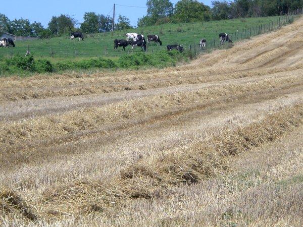 Les ondins de pailles dans le champs