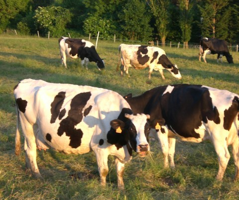 Les vaches pendant les périodes de canicule