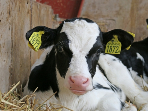 Les caissettes de veaux de lait, à la ferme Saint Thibault