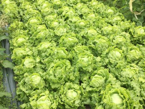 Salade du jardin de Chevru