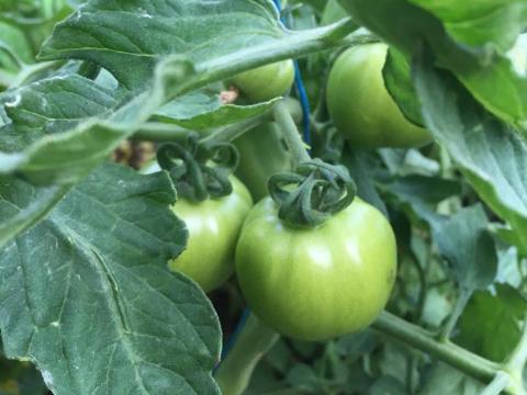 Tomate du jardin de Chevru